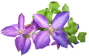 Best Fertilizer For Clematis