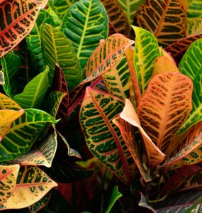Fertilizer For Crotons FAQS (Frequently Asked Questions)