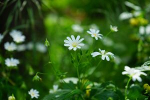 Best Weed Killer For Chickweed