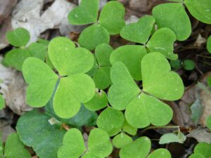 Best Weed Killer For Oxalis