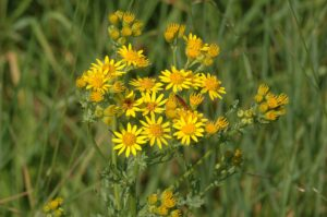 Best Weed Killer For Ragwort
